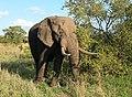 Loxodonta africana 6.jpg