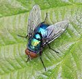 Lucilia sp - Flickr - S. Rae.jpg
