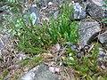 Lycopodium annotium 09.jpg