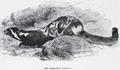 Lydekker marbled polecat.png