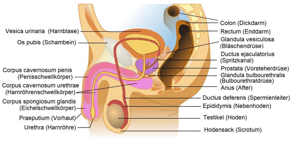 prostata anatomie zonen)