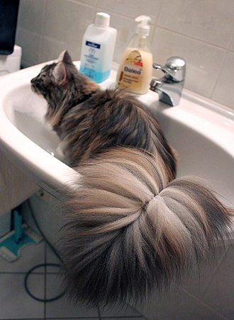 Puppy cat - Some Maine Coon felines follow their owner from one part of a room to another, jumping onto objects such as sinks, counters, and so on in order to maintain their owner's attention