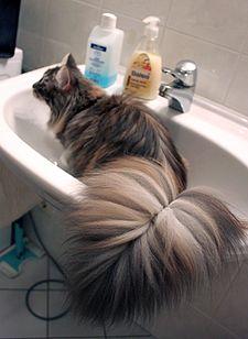 Placid Cat Breeds Australia