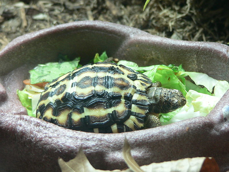 Flat Tailed Tortoise