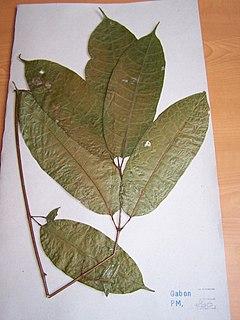 <i>Aucoumea klaineana</i> Species of tree