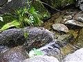 MYLF Frog on Rocks (5794436540).jpg
