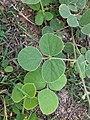 Macroptilium martii 0181.jpg