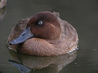 Madagascar Pochard, Captive Breeding Program, Madagascar 2.jpg