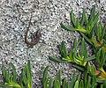 Madeiran wall lizard.jpg