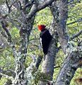 Magellanic Woodpecker - Flickr - gailhampshire.jpg