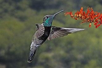 San Luis Potosí - Image: Magnificent Hummingbird
