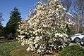 Magnolia cylindrica 0zz.jpg