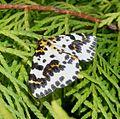 Magpie . Abraxus grossulariata - Flickr - gailhampshire.jpg