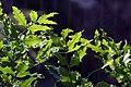 Mahonia aquifolium 6zz.jpg
