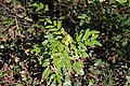 Mahonia aquifolium specimen 2021 04 02 Schwetzinger Hardt.jpg