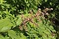 Maianthemum racemosum 6697.JPG