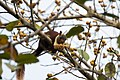 Malabar Giant Squirrel-2.jpg