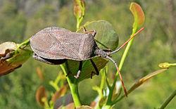 Male Amorbus rubiginosus.jpg