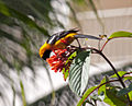 Male Hooded Oriole (4354296417).jpg
