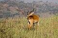 Male Ugandan kob - Queen Elizabeth National Park, Uganda (5).jpg
