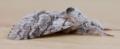 Male pale tussock moth - calliteara pudibunda (42322387022).png