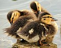 Mallard Ducklings 4 (12823387245).jpg
