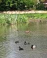 Mallards on pond at Great Hautbois Common - geograph.org.uk - 1279056.jpg
