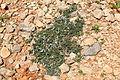 Malta - Ghajnsielem - Comino - Teucrium fruticans 01 ies.jpg