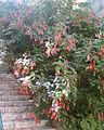 Malvaviscus arboreus 012.jpg