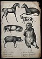 Mammals with congenital defects. Lithograph. Wellcome V0022902ER.jpg