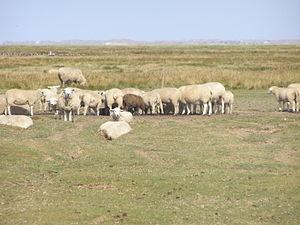 Mandø - Sheep grazing on Mandø Island