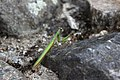 Mantis religiosa Cisnadioara.jpg