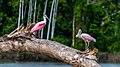 Manu National Park Peru (109758149).jpeg