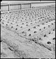 Manzanar Relocation Center, Manzanar, California. A view of a section in the growing bed for guayul . . . - NARA - 538029.jpg