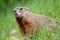 Marmota monax UL 10.jpg