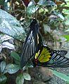 Mating Magellan birdwings (Troides magellanus).JPG