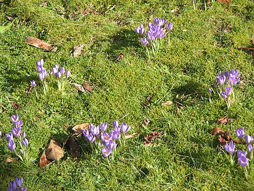 Meadow with Crocus etruscus