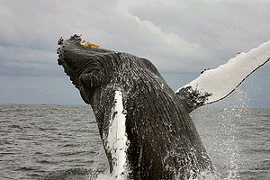 "Life (UK TV series) - A breaching humpback whale, a species featured in ""Mammals""."