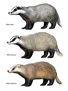 <i>Meles</i> (genus) genus of badgers