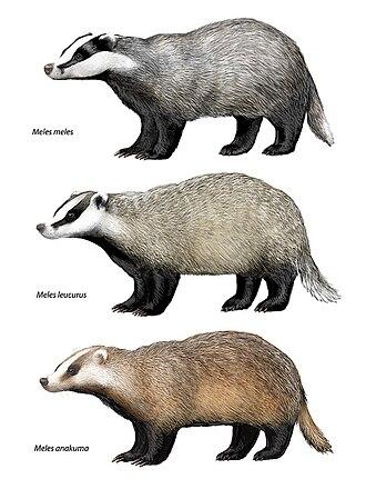 Meles (genus) - Meles meles, M. leucurus, and M. anakuma.