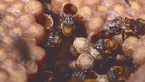 Melipona bicolor - M. bicolor workers in nest
