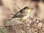Melodious warbler.jpg