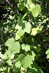 Menispermum canadense 5070.jpg