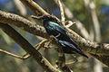 Metallic Starling - Kingfisher Park - Queensland S4E0677 (21765369663).jpg