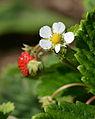 Metsmaasikas (Fragaria vesca).JPG
