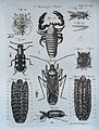Microscopy; diagrams illustrating insects and parts of insec Wellcome V0024960.jpg
