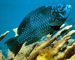 Midnight parrotfish.jpg