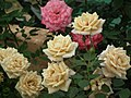 Miniature rose from Lalbagh flower show Aug 2013 8476.JPG