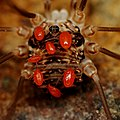 Mites on Harvestman - Oregon Caves.jpg