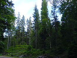 Mixed Picea (Spruce) forest from Vestfold county in Norway.jpg